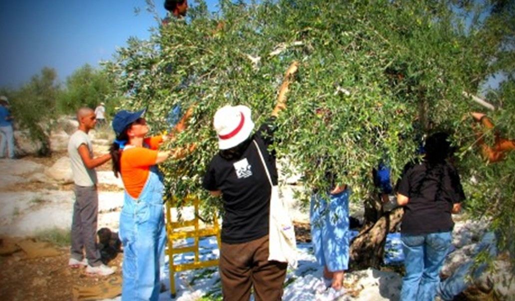 Israeli volunteers during the olive harvest in the occupied West Bank (Photo: Rabbis for Human Rights)