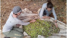 Every fall, Rabbis for Human Rights brings hundreds of volunteers to work side-by-side with Palestinian farmers during the Olive Harvest campaign. The presence provides protection against possible settler intimidation, enables farmers to complete the harvest within the limited number of days they can safely do so, and has also become an act of solidarity between Israelis and Palestinians.
