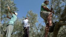 Joint Palestinian-Israeli solidarity olive harvest near Al-Walaja in the occupied territories
