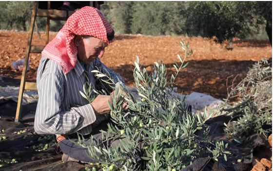 The olive harvest in the Occupied Palestinian Territories