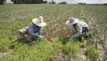 "Two Burmese ""volunteer"" agricultural workers in a field somewhere in Israel (Photo: Kav LaOved)"