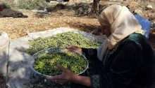 Olive harvest in the West Bank