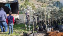 The olive tree saplings that were to be planted at Yasuf in the occupied West Bank on Friday, February 14, 2020