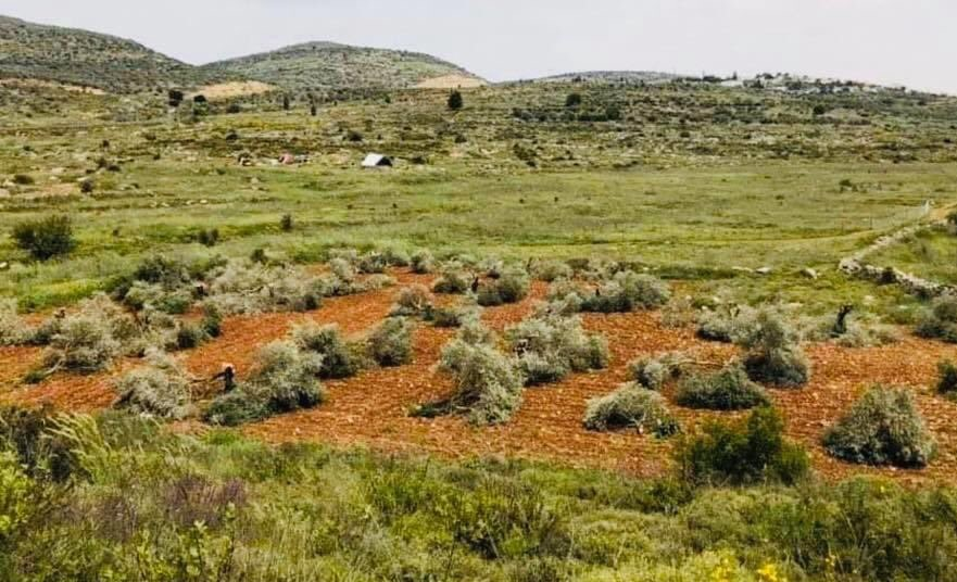 Dozens of olive trees belonging to a Palestinian farmer. Abdul-Radhman Mohammad Youself, were destroyed by axe-wielding Jewish settlers on Monday, April 27, in this West Bank agricultural field, just outside the town of As-Sawiya, south of the city of Nablus.